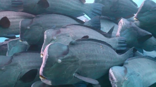 ms tight school of bumphead parrotfish / sipadan, semporna, tawau, malaysia - parrotfish stock videos & royalty-free footage