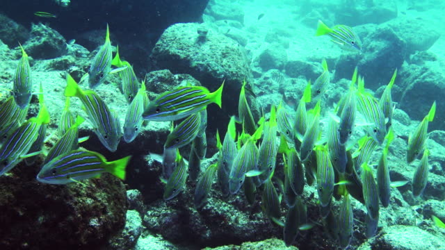 a tight school of fish forages on a rocky seabed. - futter suchen stock-videos und b-roll-filmmaterial