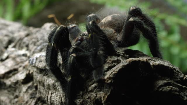 Tight Shot Of A Gooty Sapphire Ornamental Tree Spider