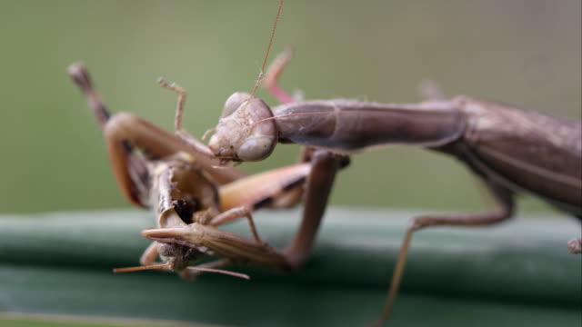 tight shot of a praying mantis chewing on a grasshopper leg. - biting stock videos & royalty-free footage