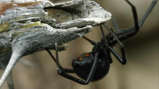 vídeos de stock, filmes e b-roll de tight shot of a western black widow weaving a web. - widow