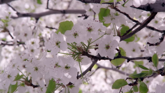 tight shot of blossoming tree branch. - オレム点の映像素材/bロール