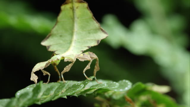 tight shot of field of a giant leaf insect on a leaf. - tarnung stock-videos und b-roll-filmmaterial