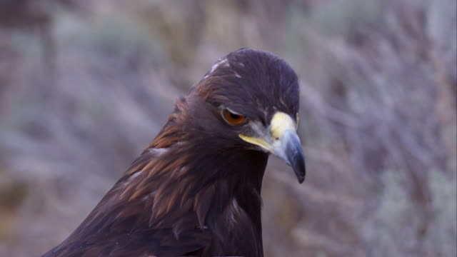 tight shot of golden eagle's head. - golden eagle stock videos & royalty-free footage