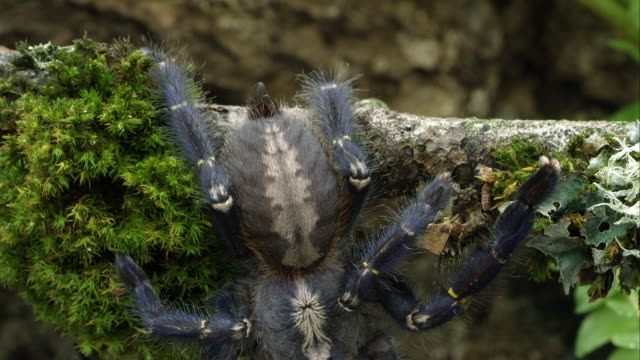 tight shot of gooty sapphire ornamental tree spider. - navy stock videos and b-roll footage