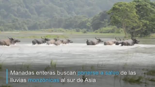 tigres rinocerontes elefantes y otros animales salvajes han tenido que huir de su habitat sorprendiendo a los residentes y revelando la dificil... - rhinoceros stock videos & royalty-free footage