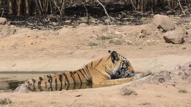 a tigress drinking water from a water hole inside bandhavgarh national park during a wildlife safari - safari animals stock videos & royalty-free footage