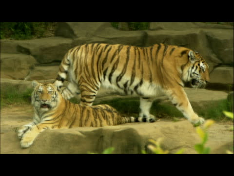 a tigress paces over rocks in a zoo. - tier in gefangenschaft stock-videos und b-roll-filmmaterial