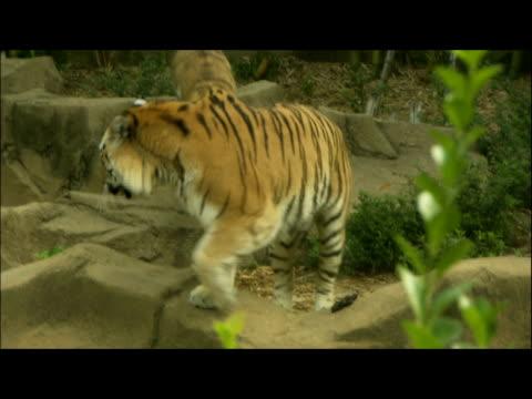 vídeos y material grabado en eventos de stock de a tigress paces with her cubs in a zoo. - animales en cautiverio