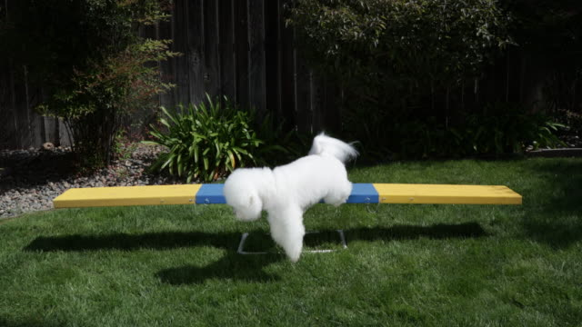 Tiki, a prize winning Bichon Frise polishes his video star by practicing agility at home