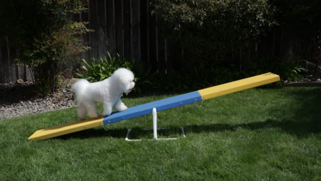vídeos de stock, filmes e b-roll de tiki, a prize winning bichon frise polishes his video star by practicing agility at home - agilidade