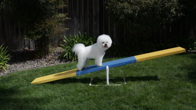 vidéos et rushes de tiki, a prize winning bichon frise polishes his video star by practicing agility at home - agilité
