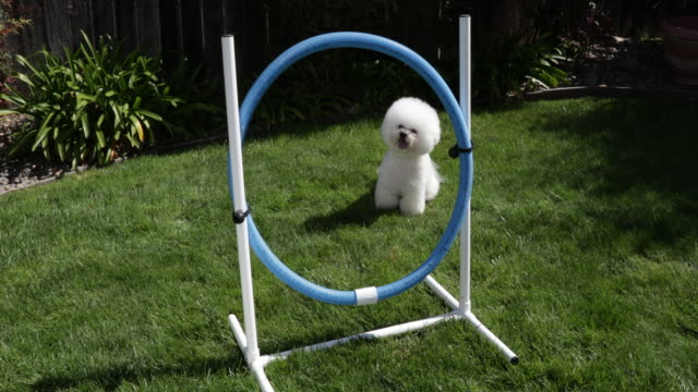 tiki, a prize winning bichon frise, practices hoop jumping at home - bichon frise stock videos and b-roll footage