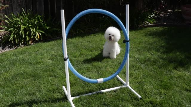 vídeos de stock, filmes e b-roll de tiki, a prize winning bichon frise, practices hoop jumping at home - pequeno