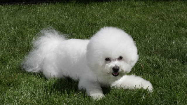 tiki, a prize winning bichon frise practicing agility at home, awaits his owner's signal to rise - gara off road video stock e b–roll