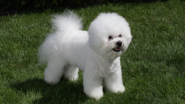 tiki, a prize winning bichon frise shows his winning style at home - bichon frise stock videos and b-roll footage