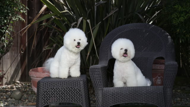 Tiki (on right) and Cricket, prize winning Bichon Frieses practice their command training at home by holding position until released