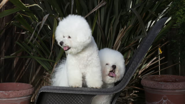 Tiki (behind) and Cricket, prize winning Bichons Frises compete for center stage with each other at home