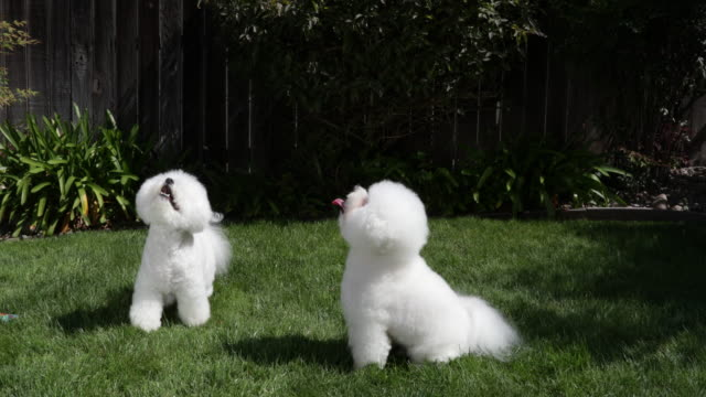 tiki (on right) and cricket, prize winning bichons frises continue dancing for treats at home - eleganz stock-videos und b-roll-filmmaterial