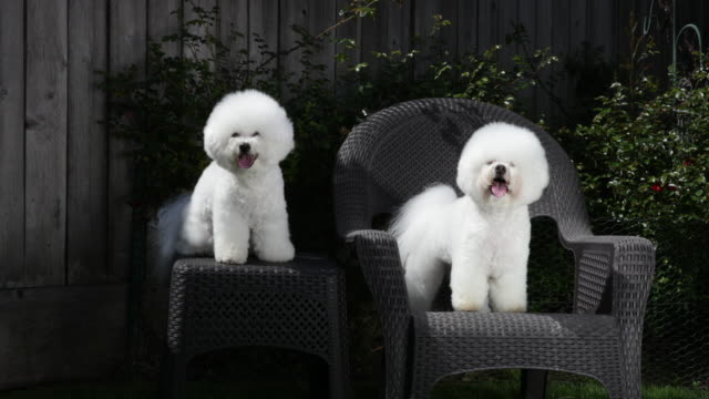vídeos de stock, filmes e b-roll de tiki (on right) and cricket, prize winning bichons frises posing on separate supports at home - bichon frise