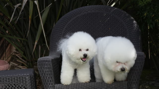 Tiki (on right) and Cricket, prize winning Bichons Frises practice holding position at home under command from their owner/trainer