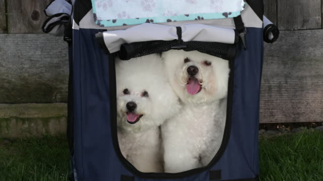 tiki (on right) and cricket, two prize winning bichons frises hot and ready to go to the next show - gabbietta per animali video stock e b–roll