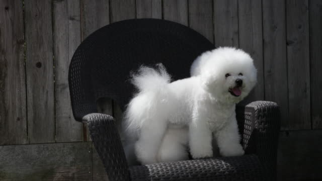 tiki and cricket (in front), two prize winning bichons frises play on a plastic chair at home - bichon frise stock videos and b-roll footage