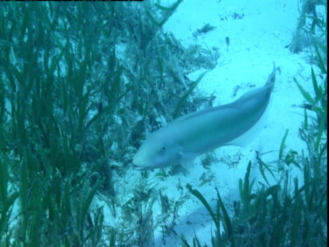 a tilefish hides among seagrass on the ocean floor in the bahamas. - seagrass video stock e b–roll