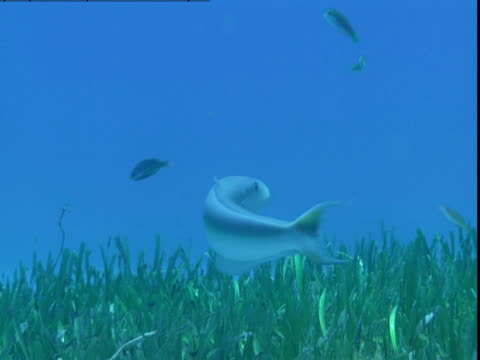vídeos de stock e filmes b-roll de a tilefish swims above the seagrass on the ocean floor in the bahamas. - sargaço