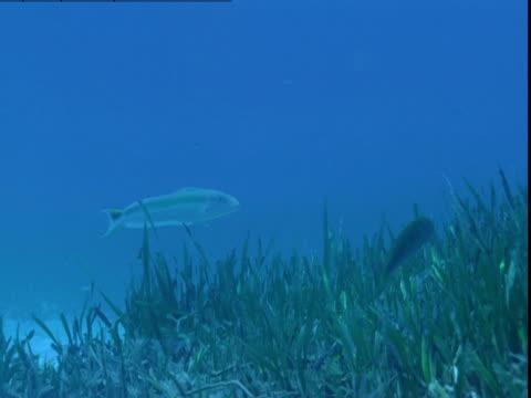 vídeos de stock e filmes b-roll de a tilefish swims just above the seagrass on the ocean floor in the bahamas. - sargaço