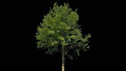 Tilia Isolated Tree
