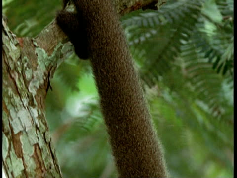 cu tilt down and pan right, common woolly monkey in tree, holding on with prehensile tail, south america - zurücklehnen stock-videos und b-roll-filmmaterial