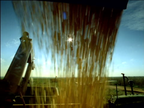 Tilt down and up as harvested corn falls from chute into heap in truck, South Africa