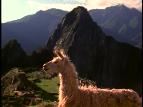 tilt down andes mountains to llama / alpaca sitting on hill / stone ruins in background below / machu picchu, peru - latin america stock videos & royalty-free footage