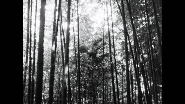 tilt down bamboo trees in a forest in kyoto; 1964 - bamboo plant stock videos & royalty-free footage