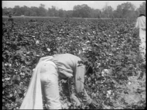 b/w 1920 tilt down black man with large sack picking cotton in field / southern us / documentary - anno 1920 video stock e b–roll
