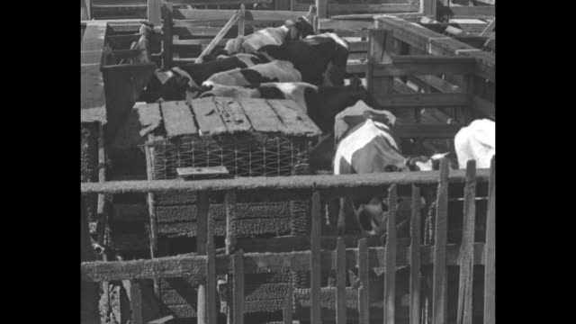 tilt down cattle in charred pens at the destroyed union stock yards / note exact day unknown - 偶蹄類点の映像素材/bロール