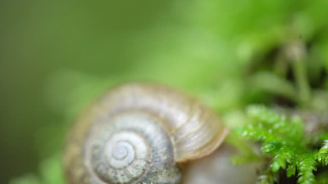 tilt down, close up of snail on forest floor - mollusk stock videos & royalty-free footage