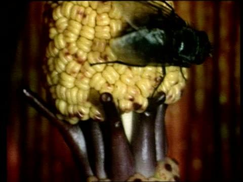 bcu tilt down, flies feeding on nectar inside dead horse arum lily, sardinia - ユリ点の映像素材/bロール