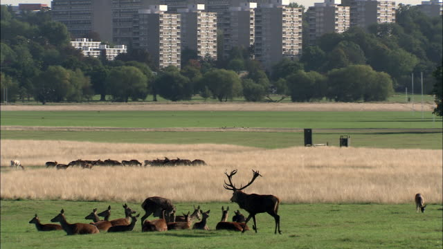 tilt down from buildings to red deer (cervus elaphus) stag and harem during rut, richmond park, london, uk - wildlife stock videos & royalty-free footage