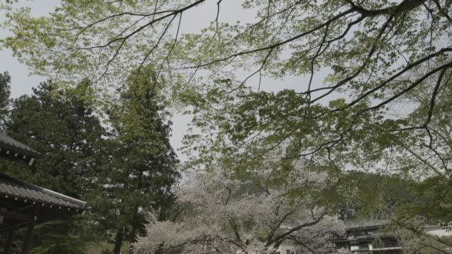 Tilt down from cherry blossom to karesansui Zen garden at Gyokudo art museum, Tokyo, Japan.