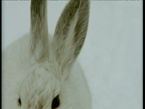 tilt down from ears to feet of snowshoe hare in white winter coat sitting on snow, - winter coat stock videos & royalty-free footage