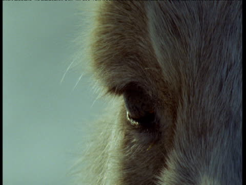 Tilt down from eye to big nose of saiga antelope, Central Asia