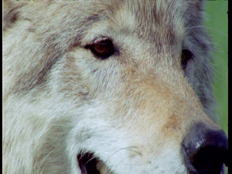 tilt down from eyes to mouth of panting wolf, idaho - teeth stock videos and b-roll footage