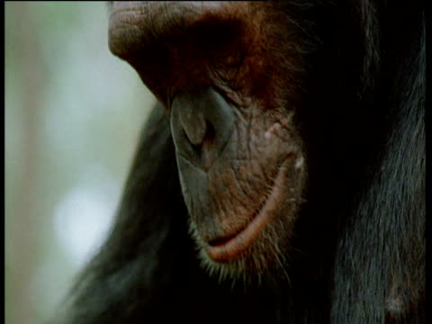 Tilt down from face of chimpanzee, to anvil and nuts, Congo