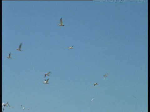 vidéos et rushes de tilt down from flying gannets to guillemot colony, funk island, canada - colony