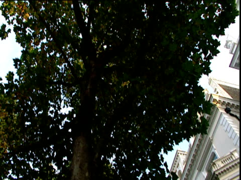 Tilt down from large London Plane tree to grand town house London
