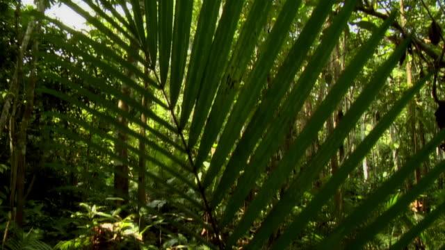 vídeos y material grabado en eventos de stock de tilt down from leaves of trees to palm frond / pan left to forest floor / amazon, brazil - inclinado hacia abajo
