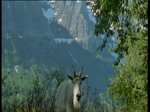 tilt down from mountain to mountain goat, it walks away, glacier national park, montana - bbc stock videos and b-roll footage