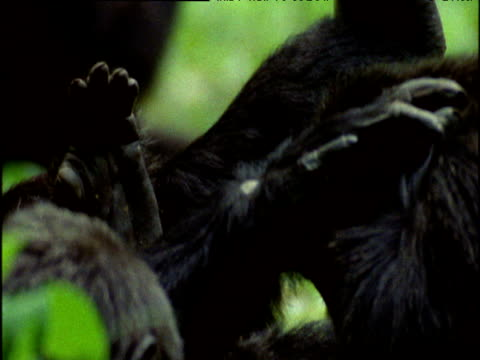 tilt down from one chimp to two others grooming in forest, uganda - sich pflegen tierisches verhalten stock-videos und b-roll-filmmaterial